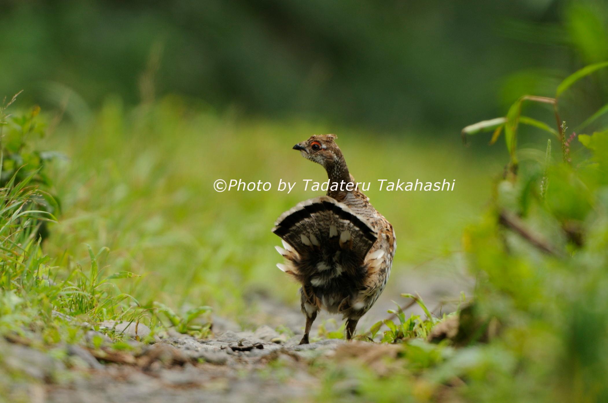 エゾライチョウの幼鳥