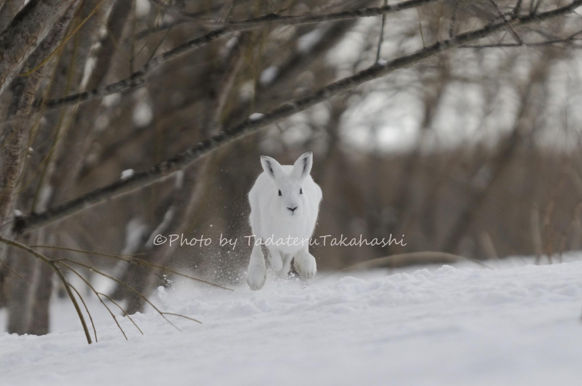 雪原を駆けるエゾユキウサギ