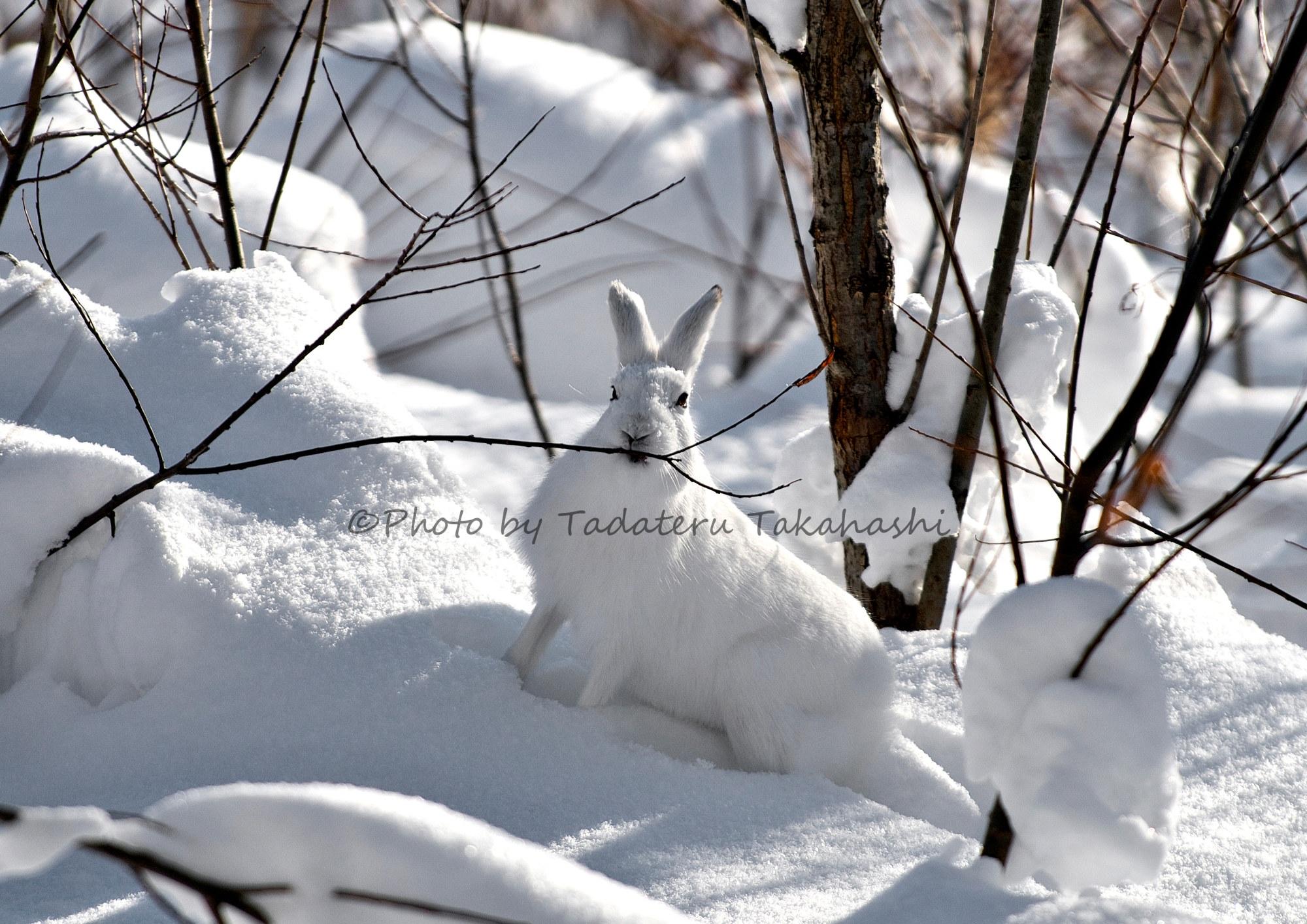 ネコヤナギの枝を食べるエゾユキウサギ