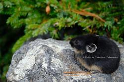 黒いエゾナキウサギ