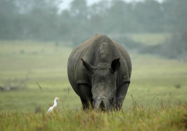 Rhino & Ox Pecker
