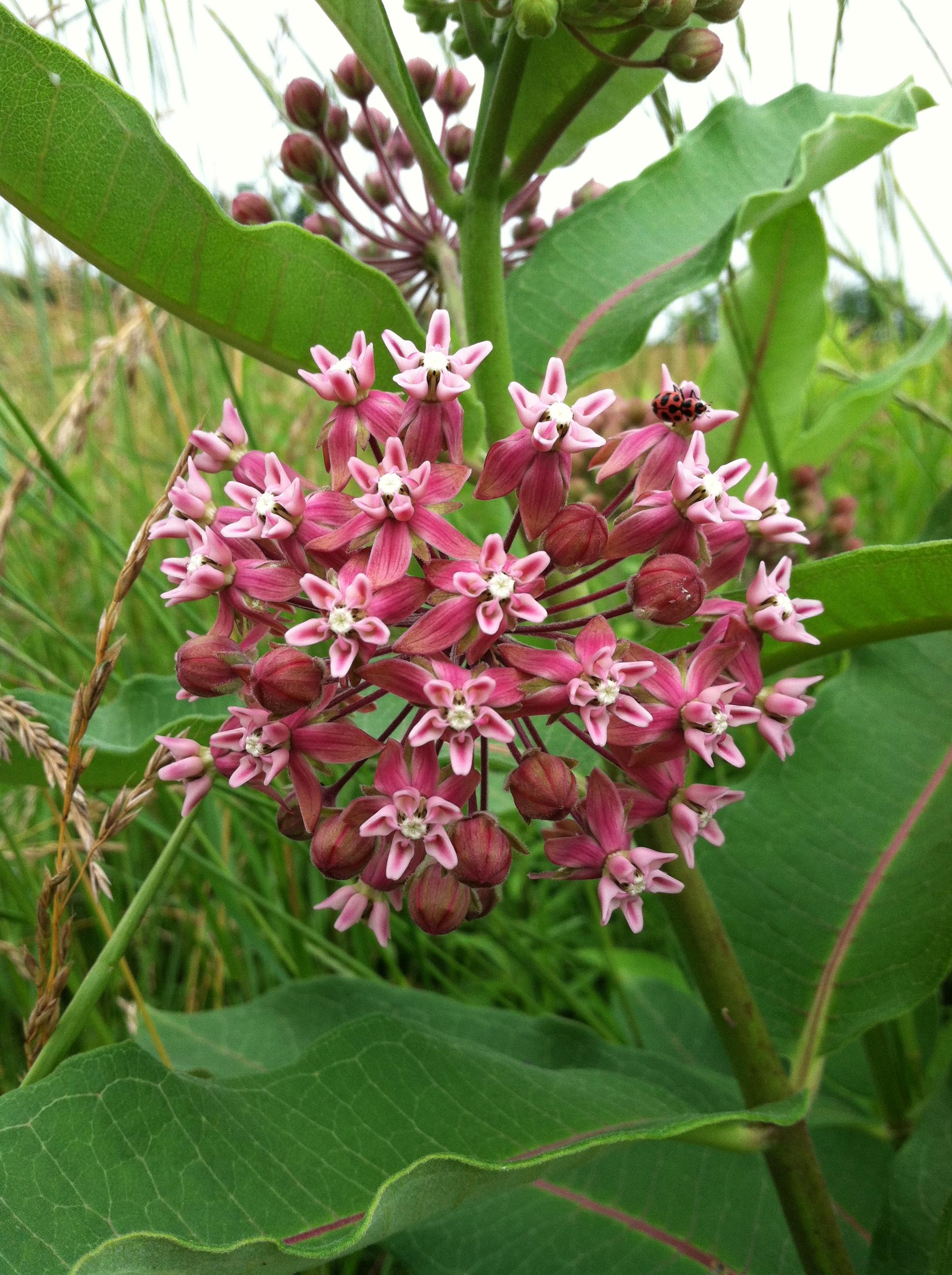 milkweed flower ladybug