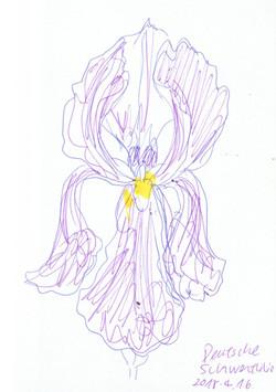 Deutschschwertlilie