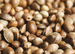 Can you legally buy cannabis seeds in the UK?