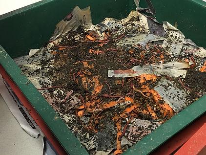 Earthworm (Composting).JPG