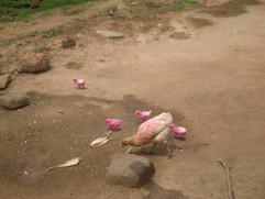 pink chickens