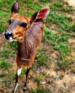 Curious little Bushbuck