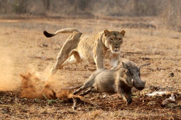 Run Pumbaa, Run!