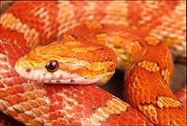 Corn Snake.jpg