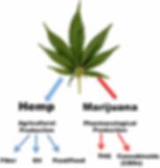 hempvsmarijuana.PNG