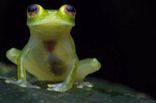 Las ranas de cristal reaparecen en Bolivia después de 18 años