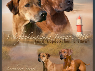 "Verpaarung Asis und Zuri vom Kennel ""Ridgebacks from Harle River"""