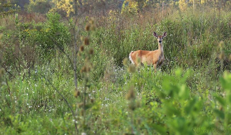 Deer-in-Riparian-Buffer-8-15-17-rswk.jpg