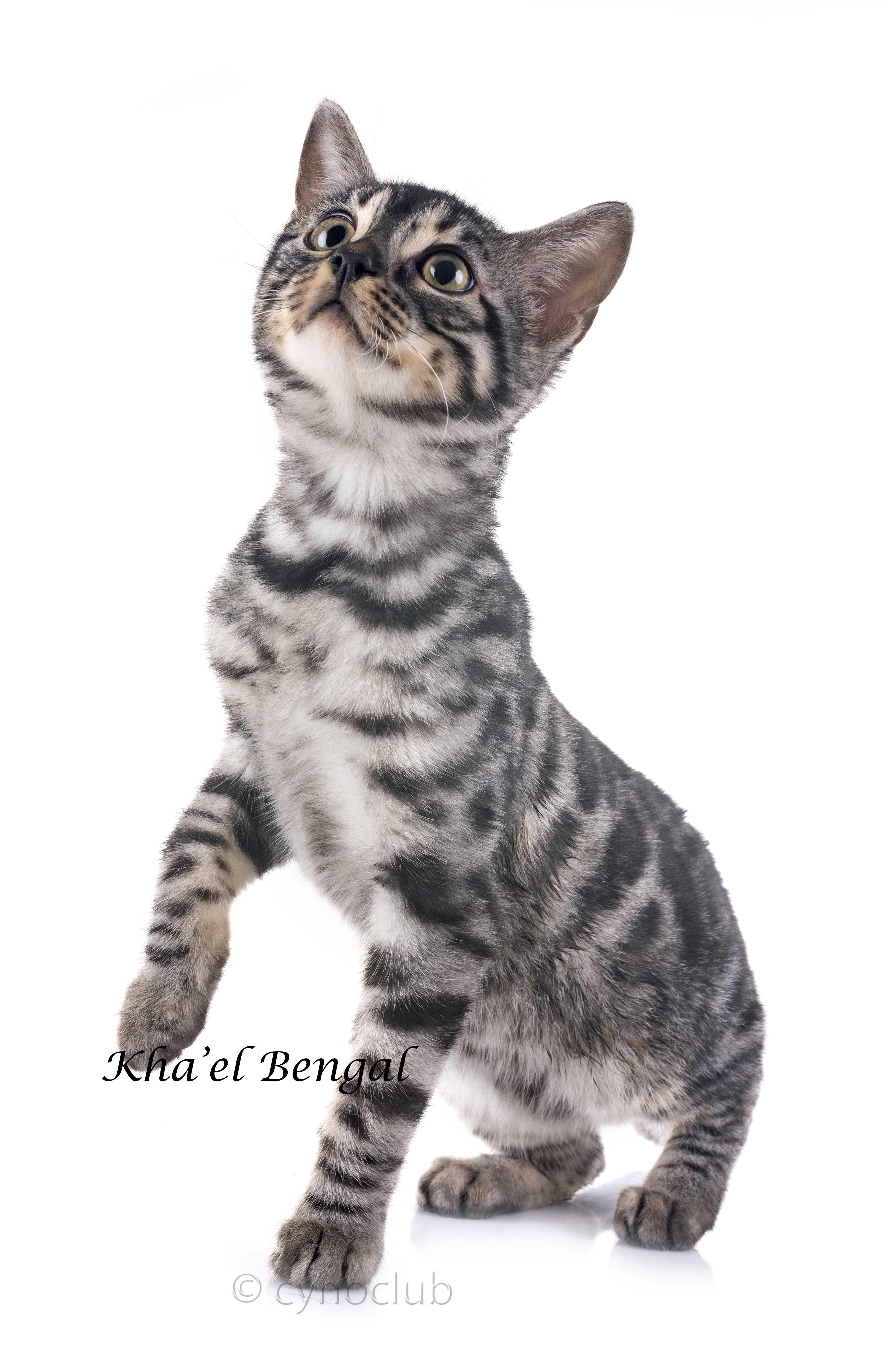 Kha'el Bengal