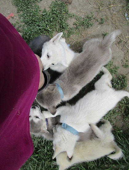 Wolf Hybrids For Sale in Humboldt County, CA