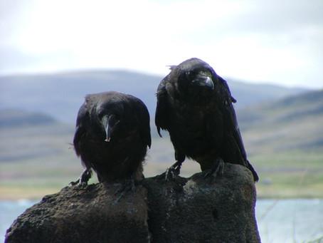 #2: The biology of the right-left divide pt. 2: Raven politics