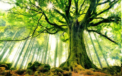 beech-trees-forest-moss-sun_rays-nature-landscape-France-green-roots-ancient
