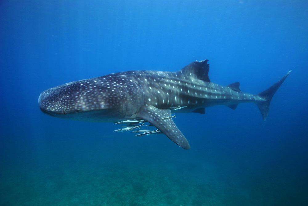 tubbataha-whaleshark