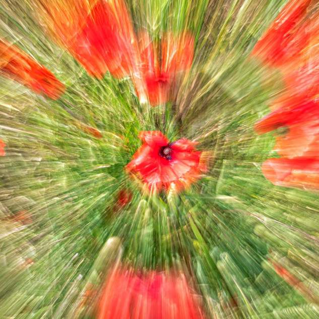 By Sue Daly - Explosion of poppies