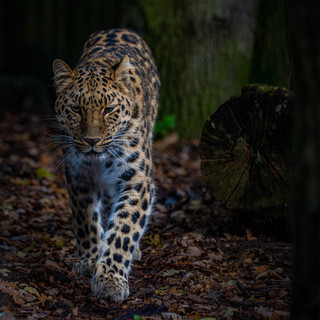 By Gary Denyer - AmurLeopard