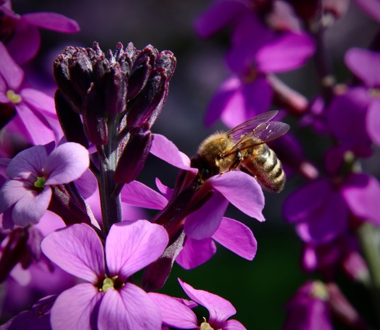By Paul Goodall - Bee on perenial wallflower