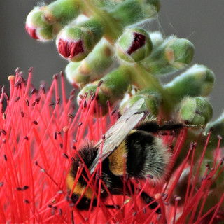 By Ann Young - wildlife bee on flower