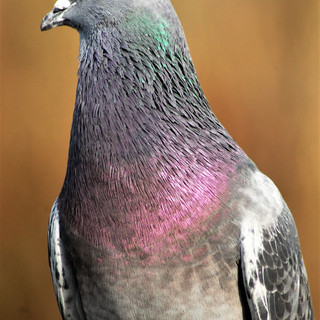 By Ann Young - wildlife close up pigeon