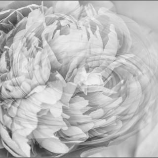 By Jan Arnold - Peony Swirl