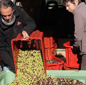 recolte-d-olives-e-a-valensole-800x450.j