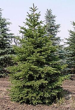 Green Spruce