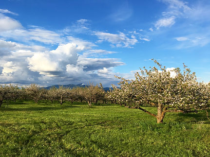 Apple Blossoms and Mount Spokane