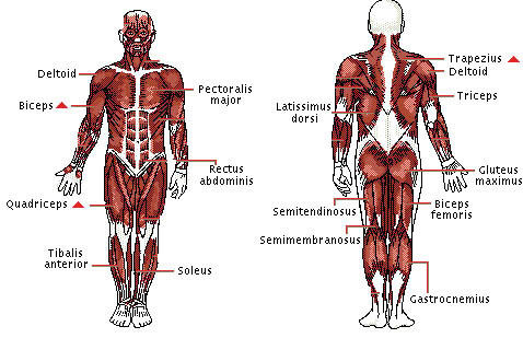 Muscle Groups Of Lower Arm 69