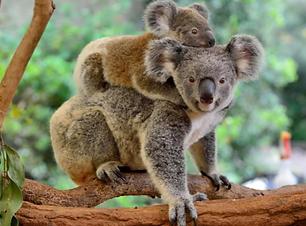 Koala-b798.png