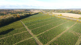Christmas tree field at Berkhamsted near London
