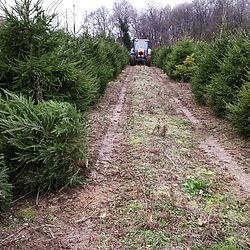 Christmas Tree cutting near Wendover