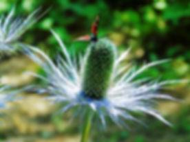découverte_fleurs_de_montagne_Montagne-L