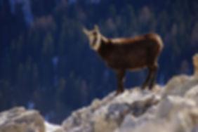 chamois_montagne-liberté.jpg