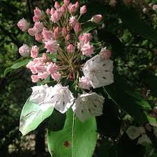Does Mountain Laurel do well in our area?
