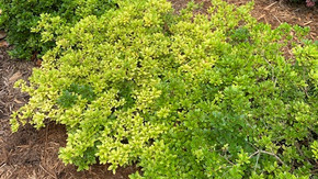 Help! My Azaleas are turning yellow...