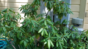 How to Prune my Leggy Rhododendron