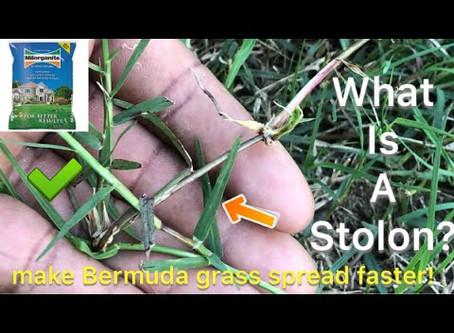 HELP:  my Bermuda Grass is taking over!