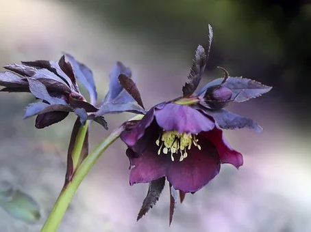 What is the REAL name of this hellebore?