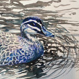 native duck