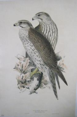 """Lanner Falcon"""