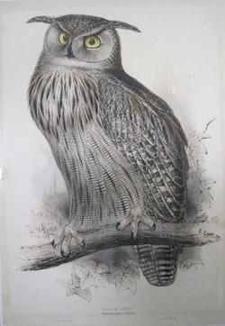 """""""Eagle Owl Bubo Maximus"""""""