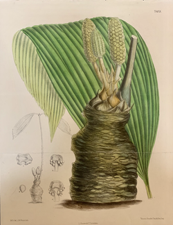 """Zamia Wallisii- No. 7103"""