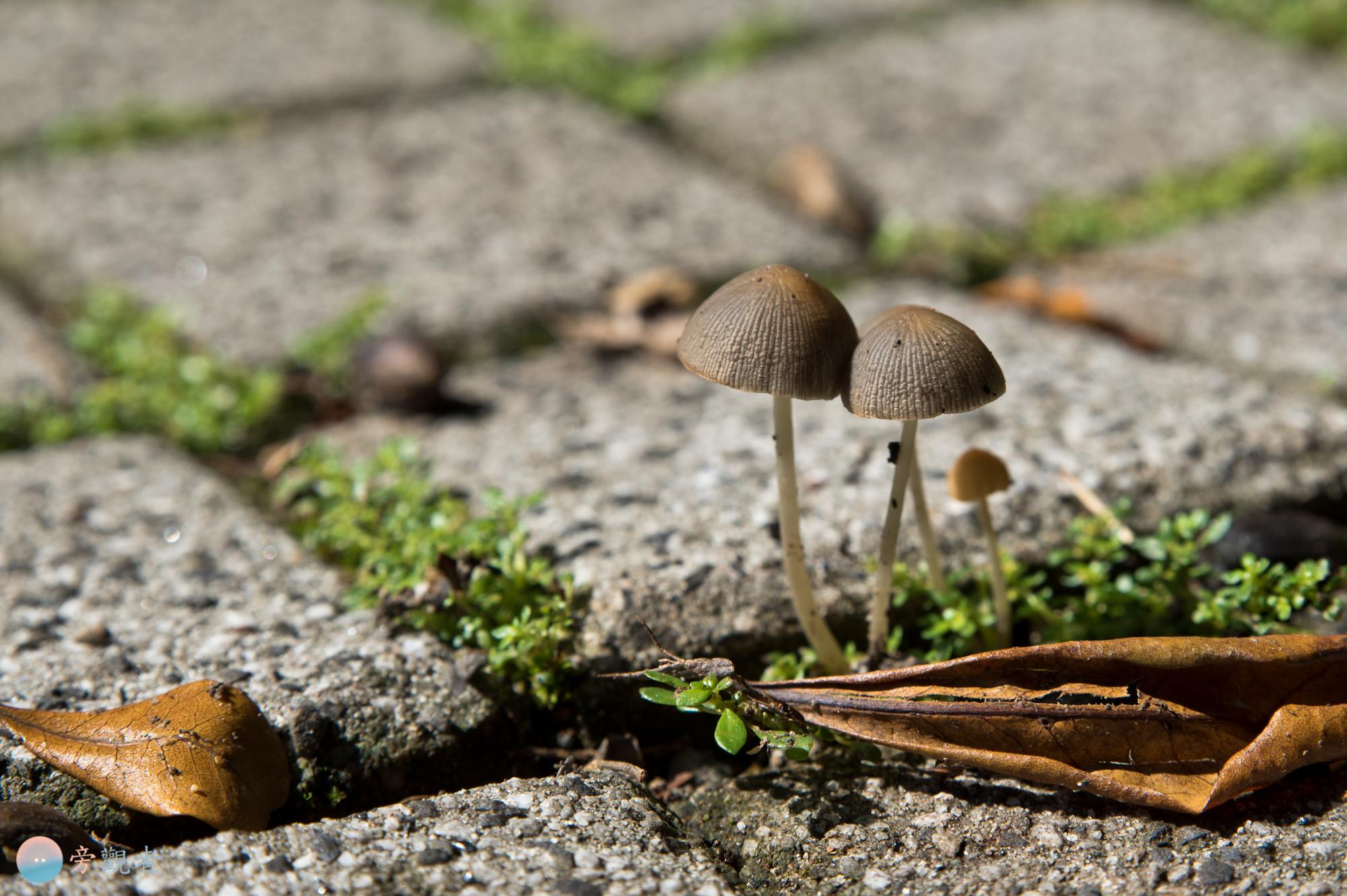 雨過天晴,地磚上長出的蕈類。南投埔里桃米
