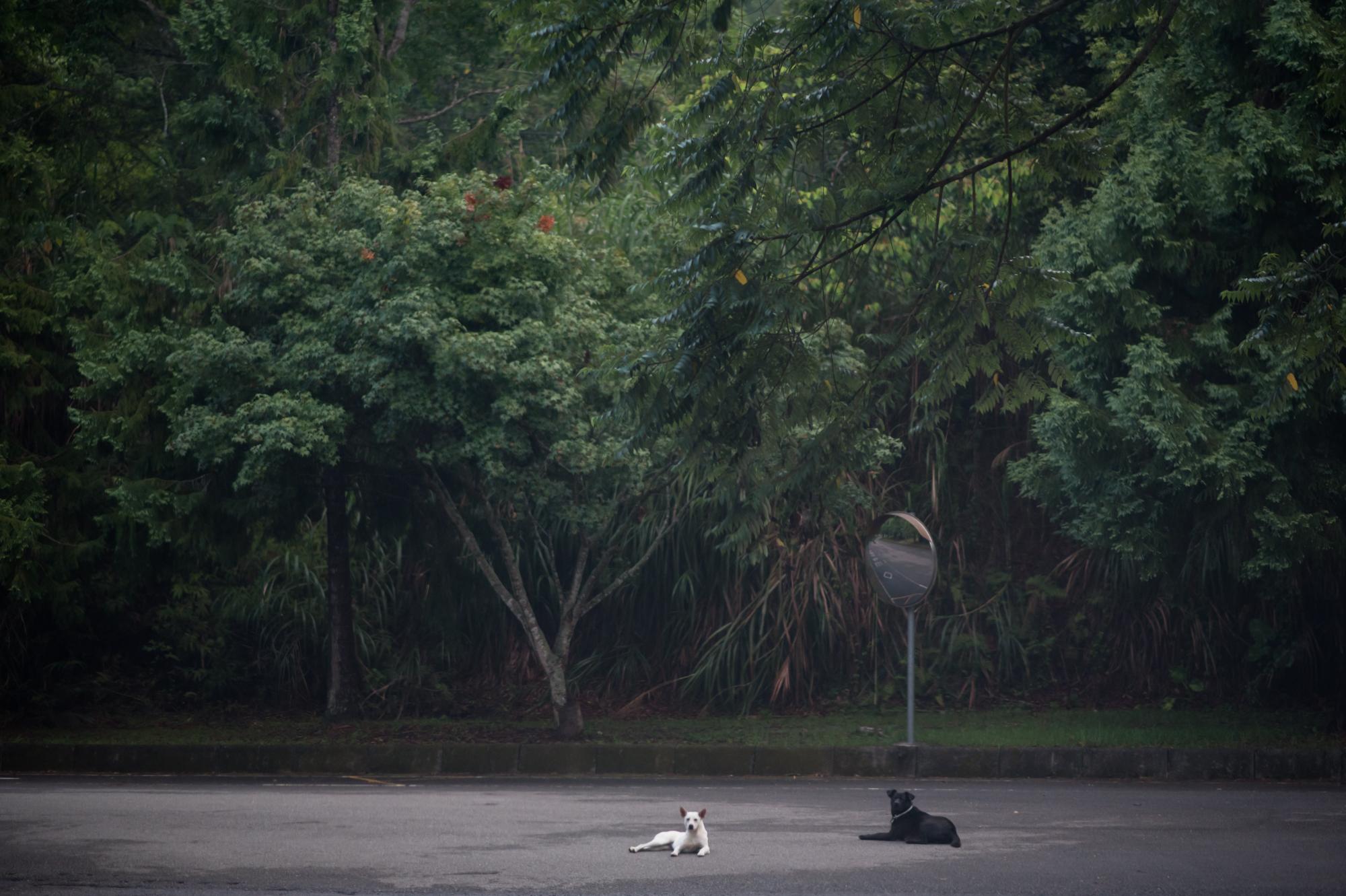 暨南大學校園道路上的狗。南投埔里桃米