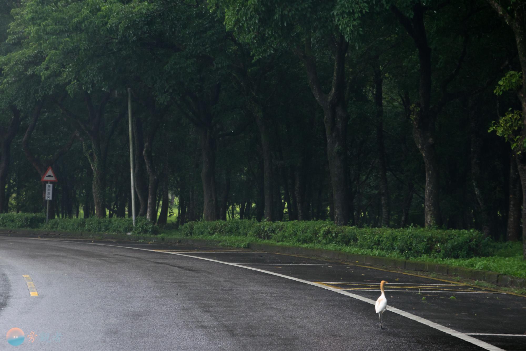 暨南大學校園的道路上有一隻黃頭鷺。南投埔里桃米