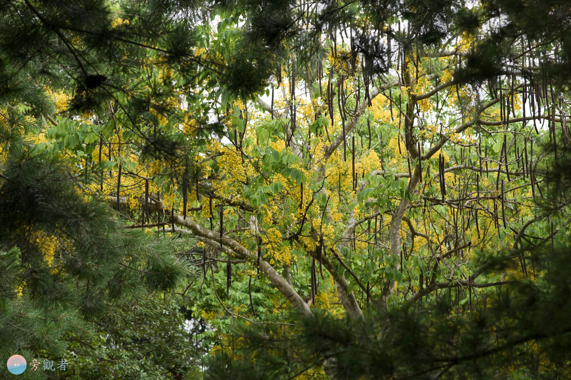 暨南大學校園的阿勃勒樹林。南投埔里桃米